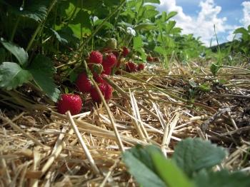 Sucr es les fraises - Comment cueillir des fraises ...